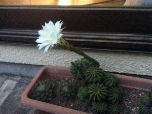 サボテンの花-w560